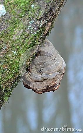champignon de polypore de mati re inflammable sur un tronc d 39 arbre photo stock image 47234870. Black Bedroom Furniture Sets. Home Design Ideas