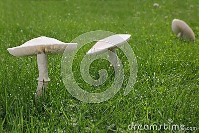 Champignons blancs sur la pelouse