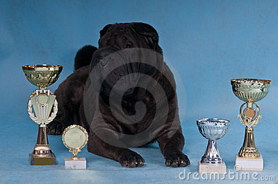 Champion Shar-Pei