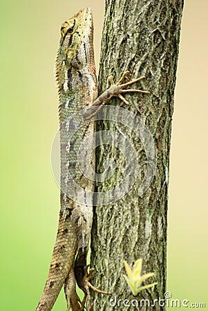 changeable lizard in a tree