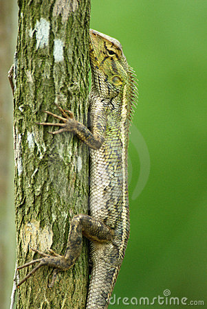 Changeable lizard in a tree