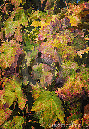 Changing Leaves 0n Grapvines, California
