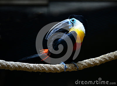Channel billed toucan Stock Photo