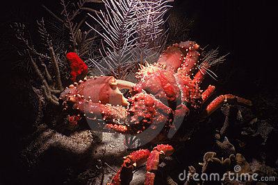 Channel Clinging Crab, Roatan, Honduras