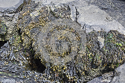 Channelled Wrack Seaweed