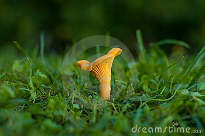 Chanterelle on the grass.