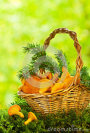 Free Chanterelle Mushrooms Royalty Free Stock Photo - 27198655