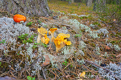 Chanterelle mushrooms in the forest