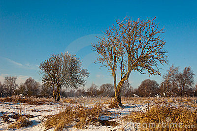 Characteristic trees in a Dutch winter landscape