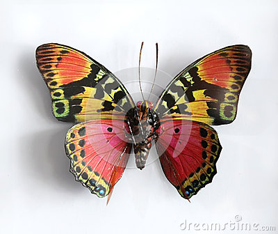 Charaxes Fournierae Fournierae a Beautiful giant butterfly