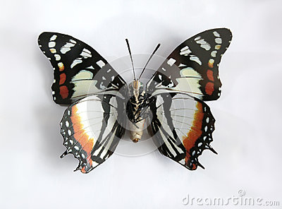 Charaxes Superbus a Beautiful giant butterfly