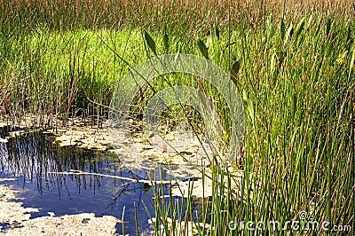 Charca del pantano de la Florida