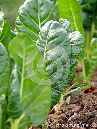 Chard vegetables