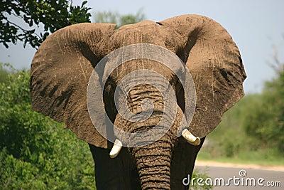 Charging elephant
