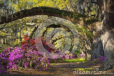Charleston SC Spring Bloom Azalea Flowers South Carolina Plantation Garden