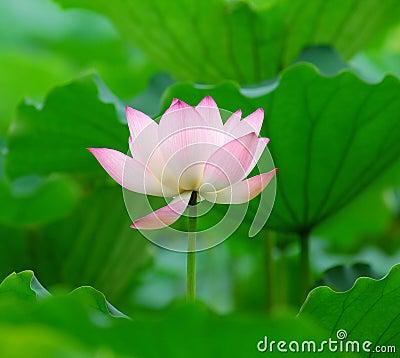 Charming lotus