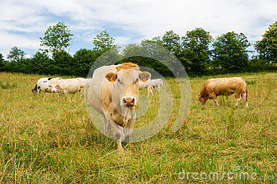 The Charolais cows in France