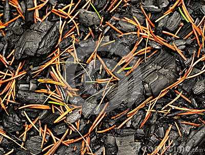A charred wood sprinkled with spruce pine needles