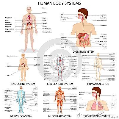 Human organ systems chart