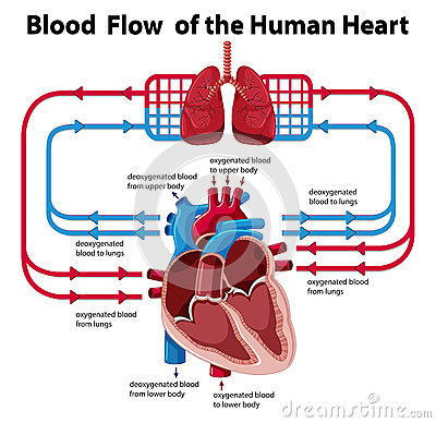 Chart showing blood flow of human heart vector illustration chart showing blood flow of human heart vector illustration ccuart Gallery