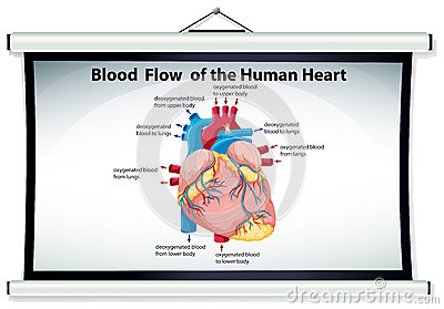 chart showing blood flow in human heart stock vector - image: 74438233, Muscles