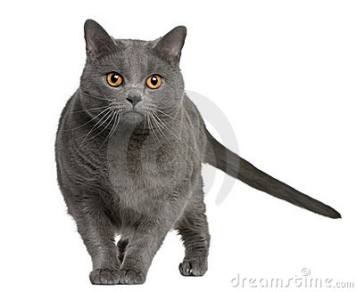 Chartreux (3 years old)