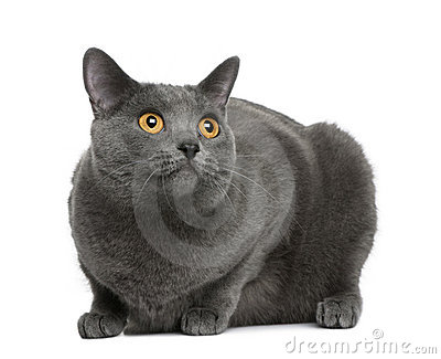 Chartreux cat, 20 months old