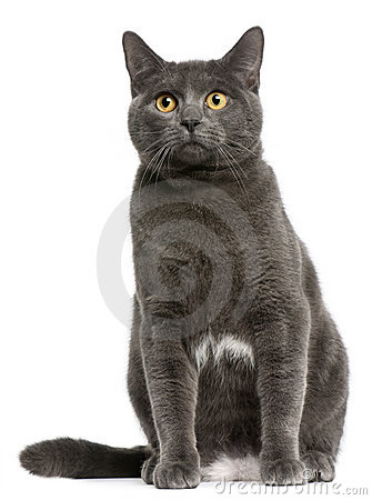 Chartreux cat, 6 months old, sitting