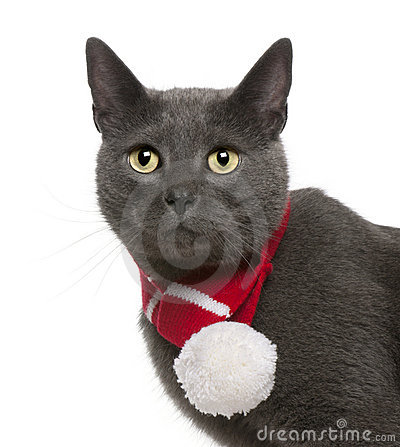 Chartreux cat wearing winter scarf, 3 years old