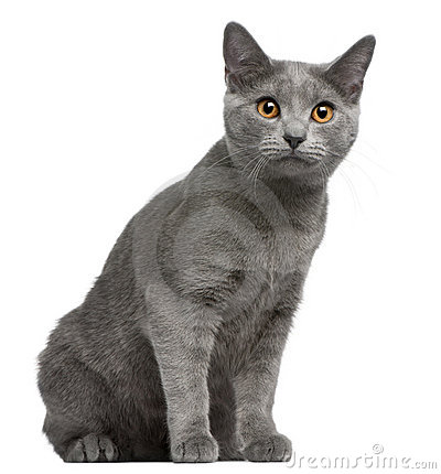 Chartreux kitten, 5 months old