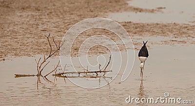 échasse Noir-à ailes