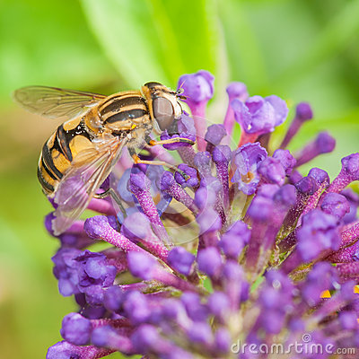 Chasseur de pollen