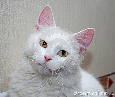 chat blanc avec les yeux jaunes photo stock image 41106333. Black Bedroom Furniture Sets. Home Design Ideas