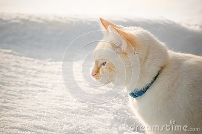 Chat blanc dans la neige