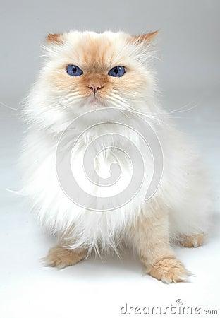 Chat blanc observé bleu
