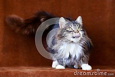 Chat gris avec de grands yeux