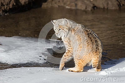 Chat sauvage adulte