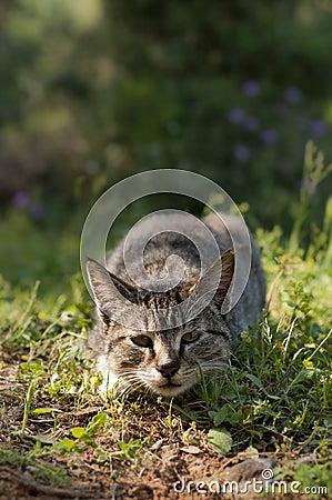 Chat sauvage - attaque