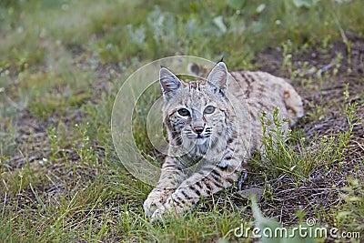 Chat sauvage au repos