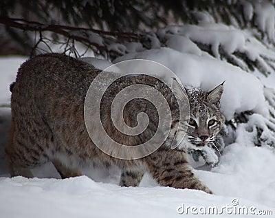 Chat sauvage dans la neige