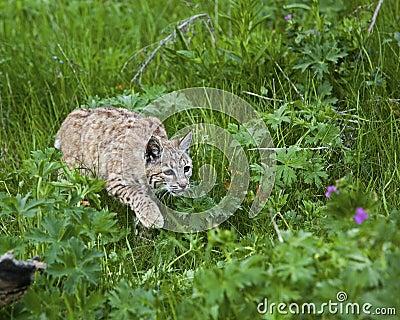 Chat sauvage dans le pré herbeux