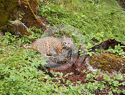 Chat sauvage dans les broussailles