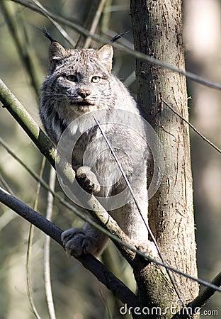 Chat sauvage dans un arbre
