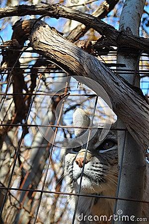 Chat sauvage en bois