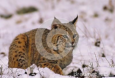 Chat sauvage en hiver