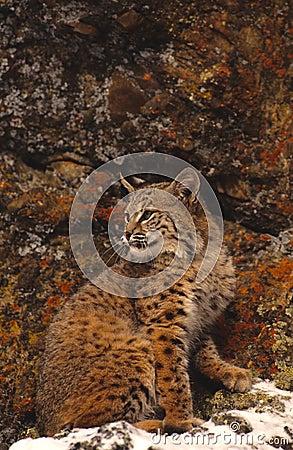 Chat sauvage et roches colorées