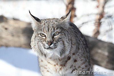 Chat Sauvage (rufus De Lynx) Photographie stock - Image: 17616542