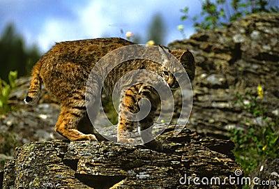 Chat sauvage sur la roche