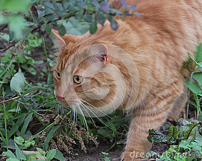 Chat tigré de égrappage