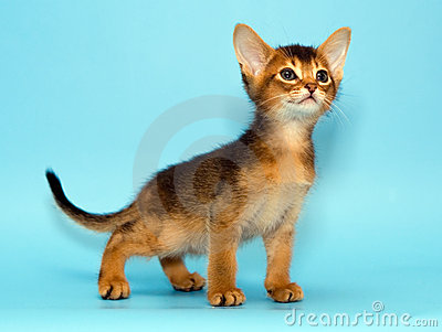 Chaton abyssinien